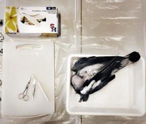 Fugle dissektion.png